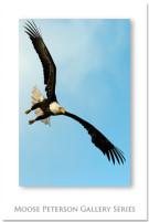 Bald_Eagle_2585