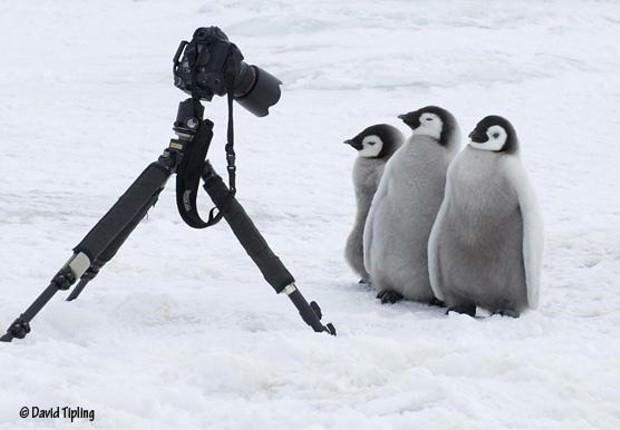 penguines 1