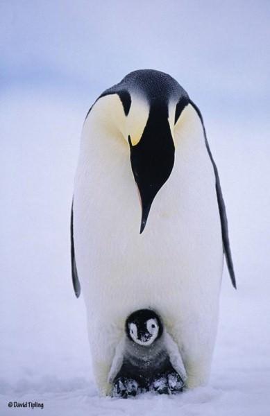 penguines 4