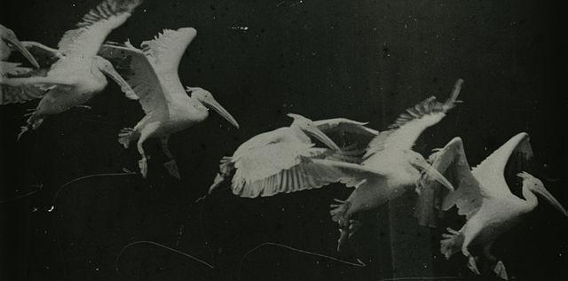 Marey birds