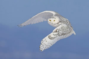 Snowy_Owls_-_Getting_the_Shot_html_11ac3295 image