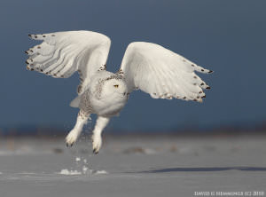 Snowy_Owls_-_Getting_the_Shot_html_27da3135 image