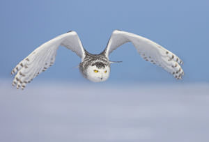Snowy_Owls_-_Getting_the_Shot_html_3c6119d2 image