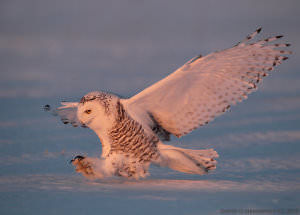 Snowy_Owls_-_Getting_the_Shot_html_562b499 image