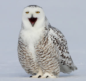 Snowy_Owls_-_Getting_the_Shot_html_m69e337b4 image