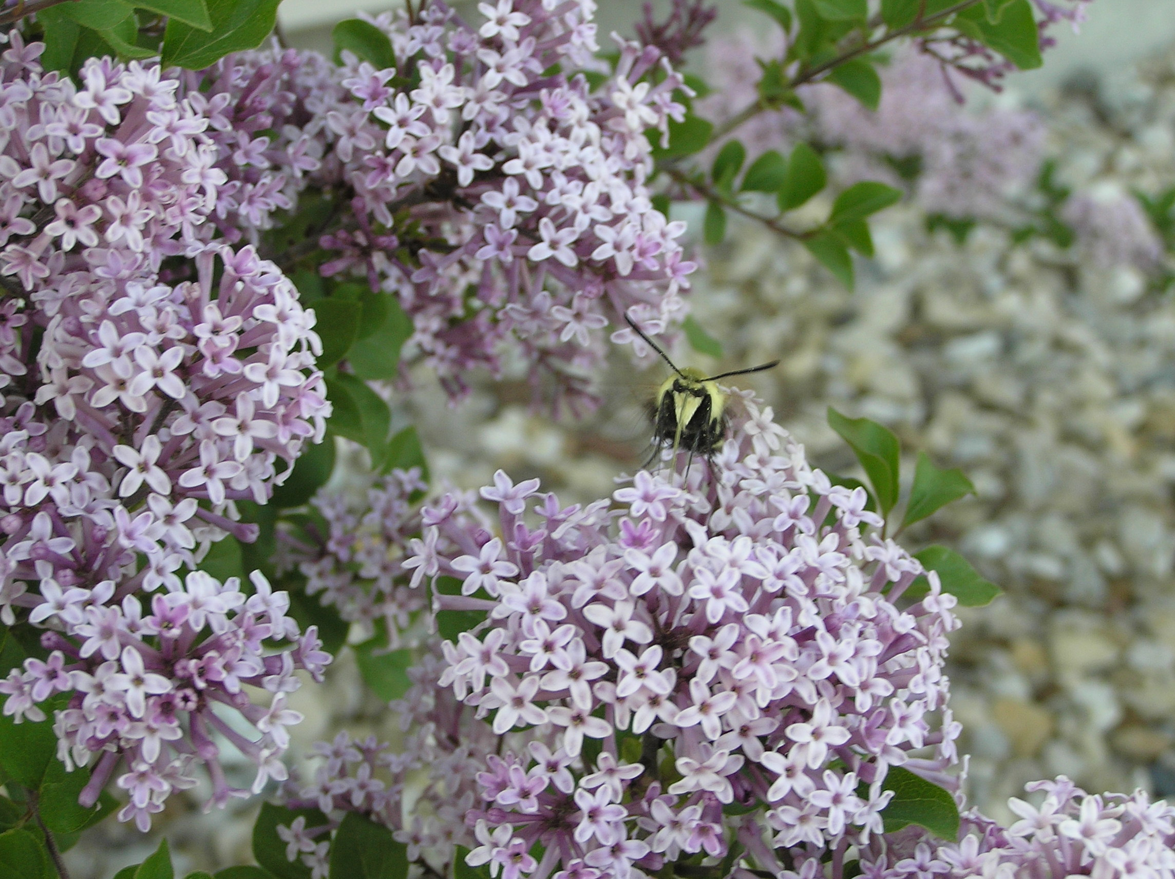 Lilacs and the bee