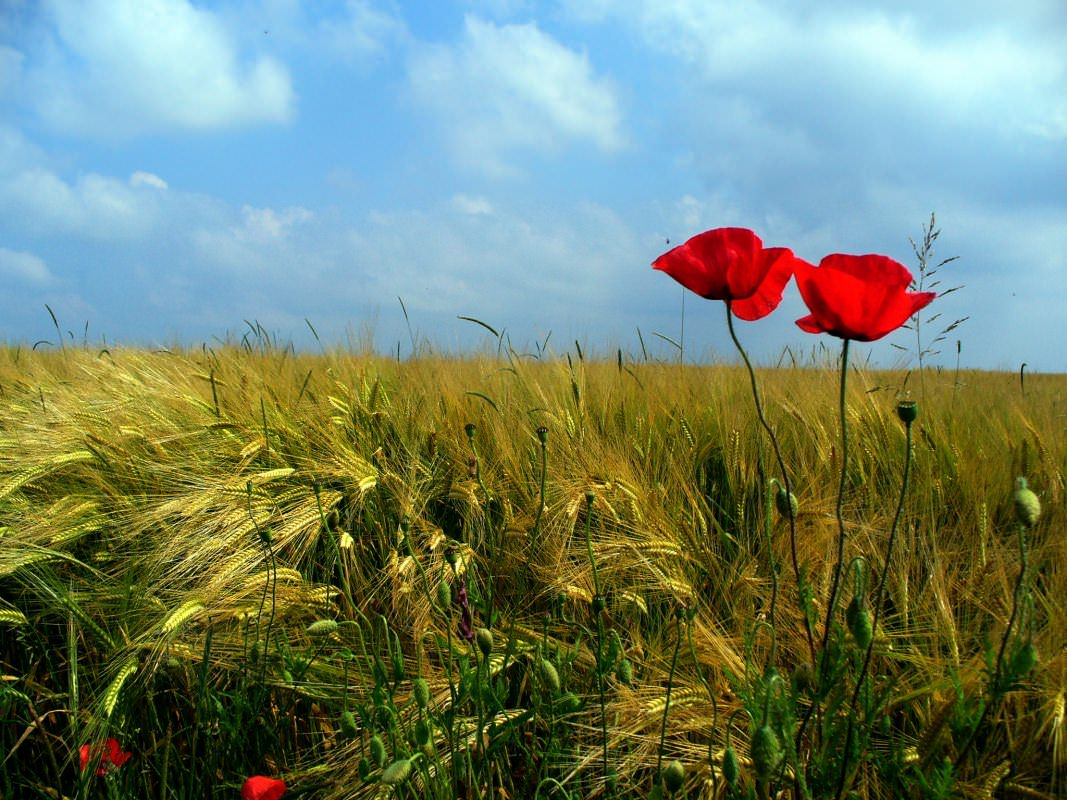 Poppies in a field of barley, Alsace