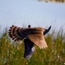 Hawk vs. Pigeon