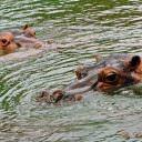 He & She Hippos at Nandankanan