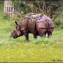 Grazing Rhino
