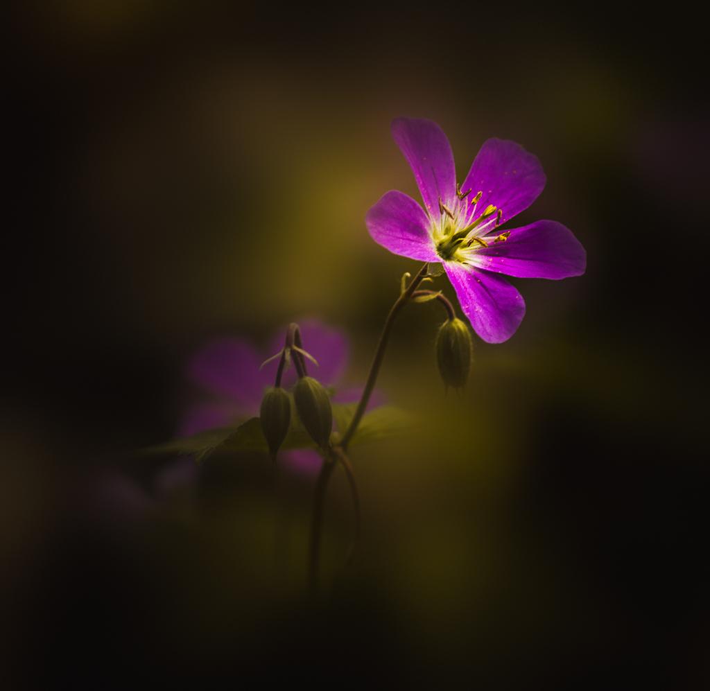 Softly I Bloom
