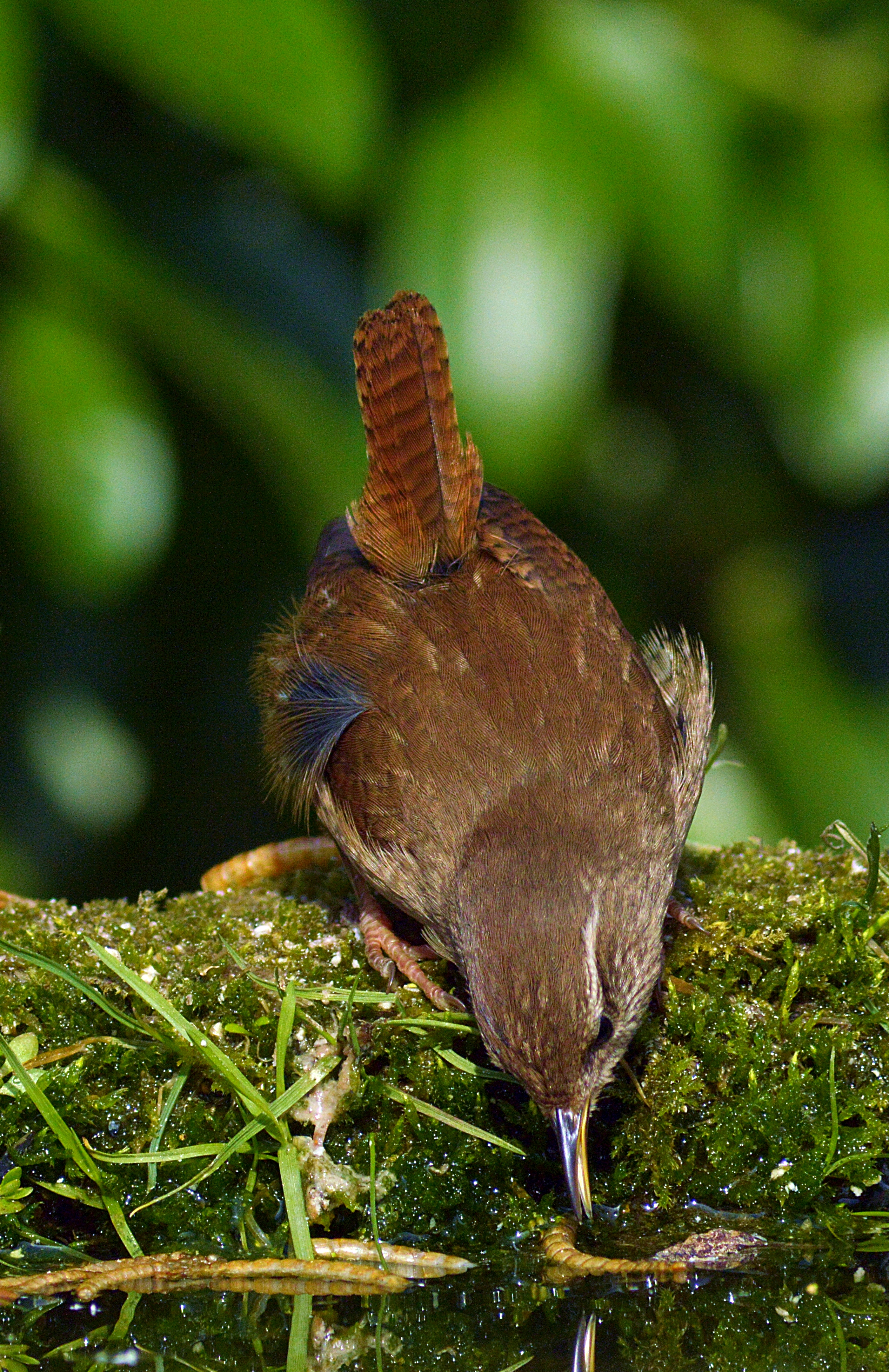 wren taking a mealworm