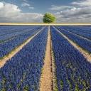 Hyacinths and Tree