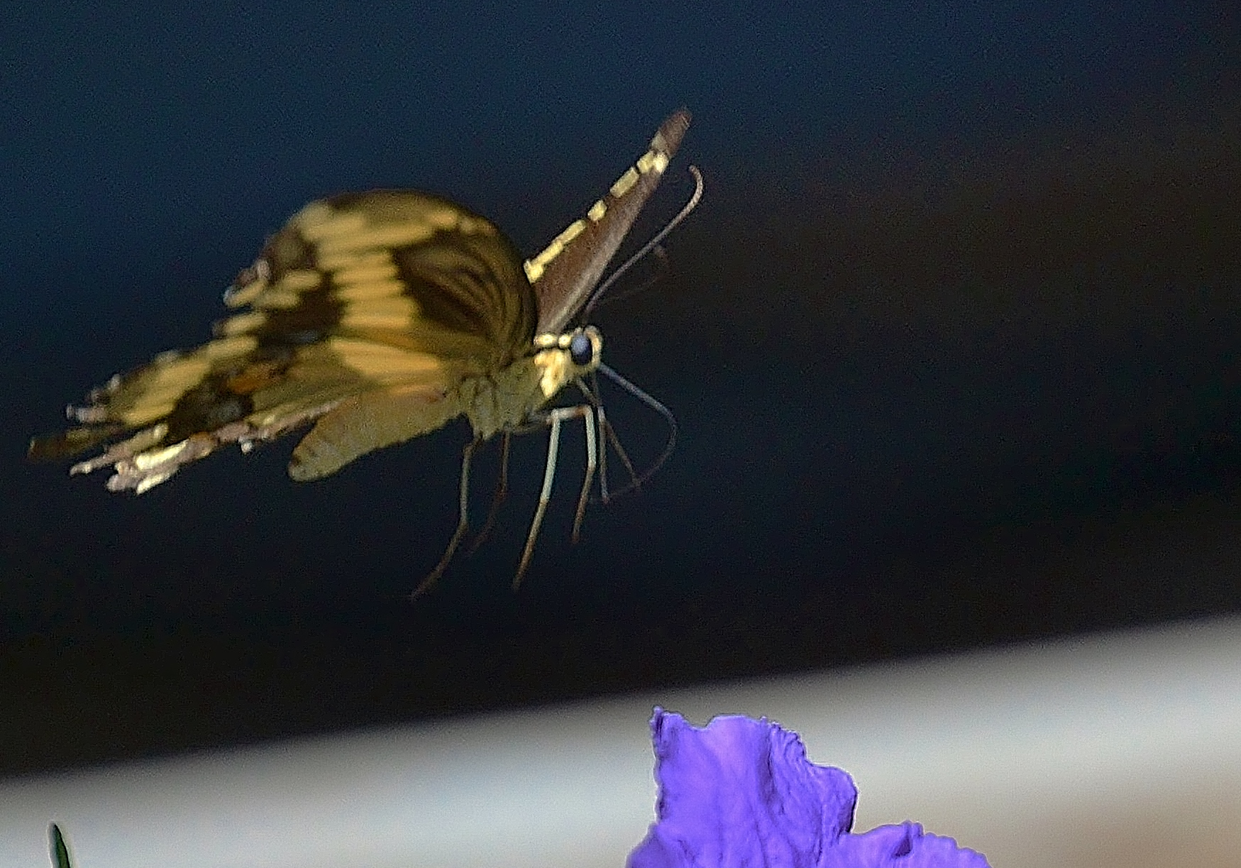 Butterfly over Petunias