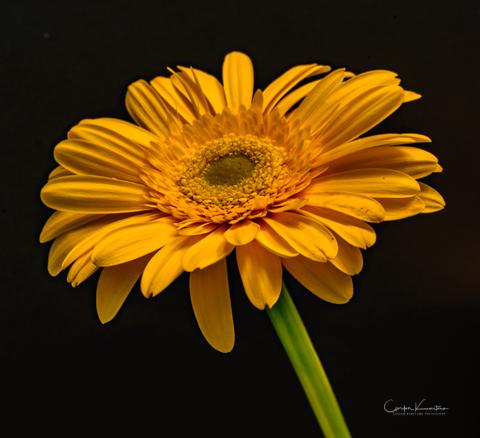 Daisy-Gerbera-1504.jpg