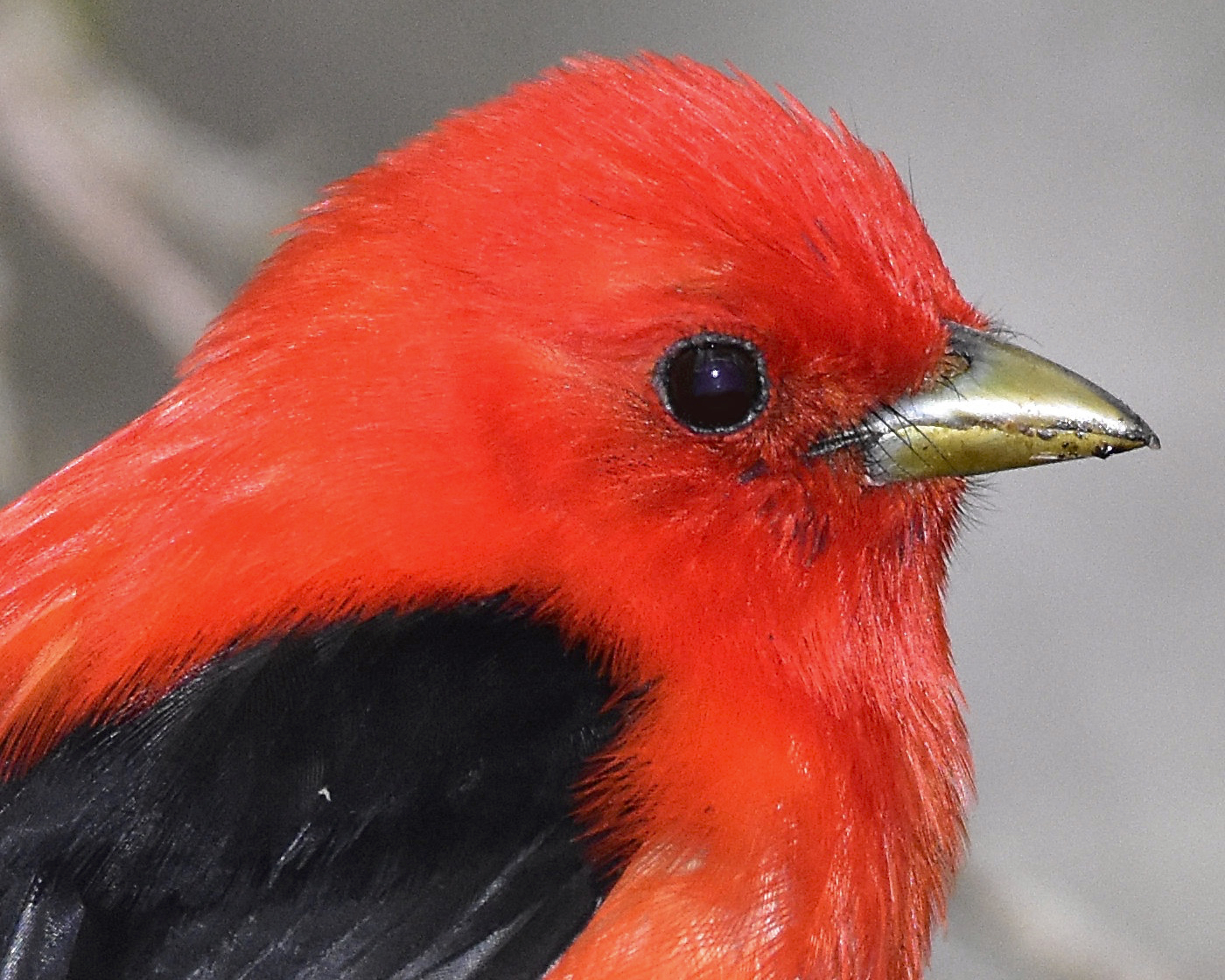 Scarlet Tanager - Photography Forum
