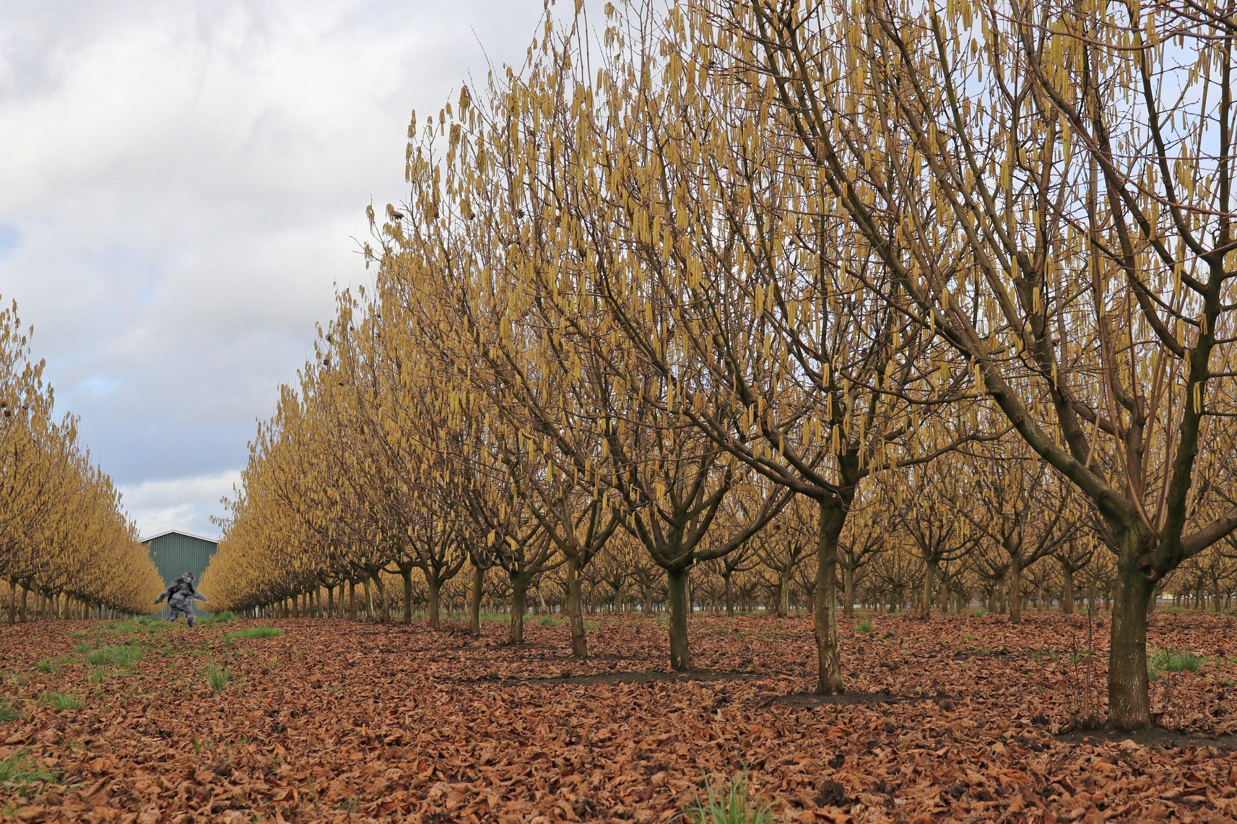 orchard1wsasquatch.jpg