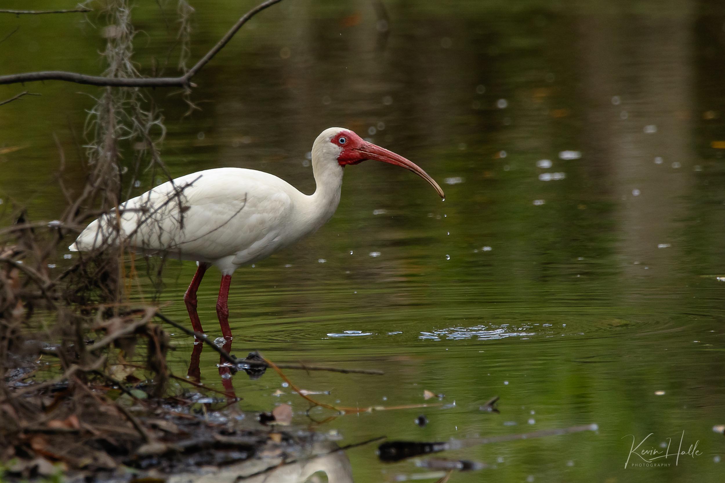 ibis10-1.jpg