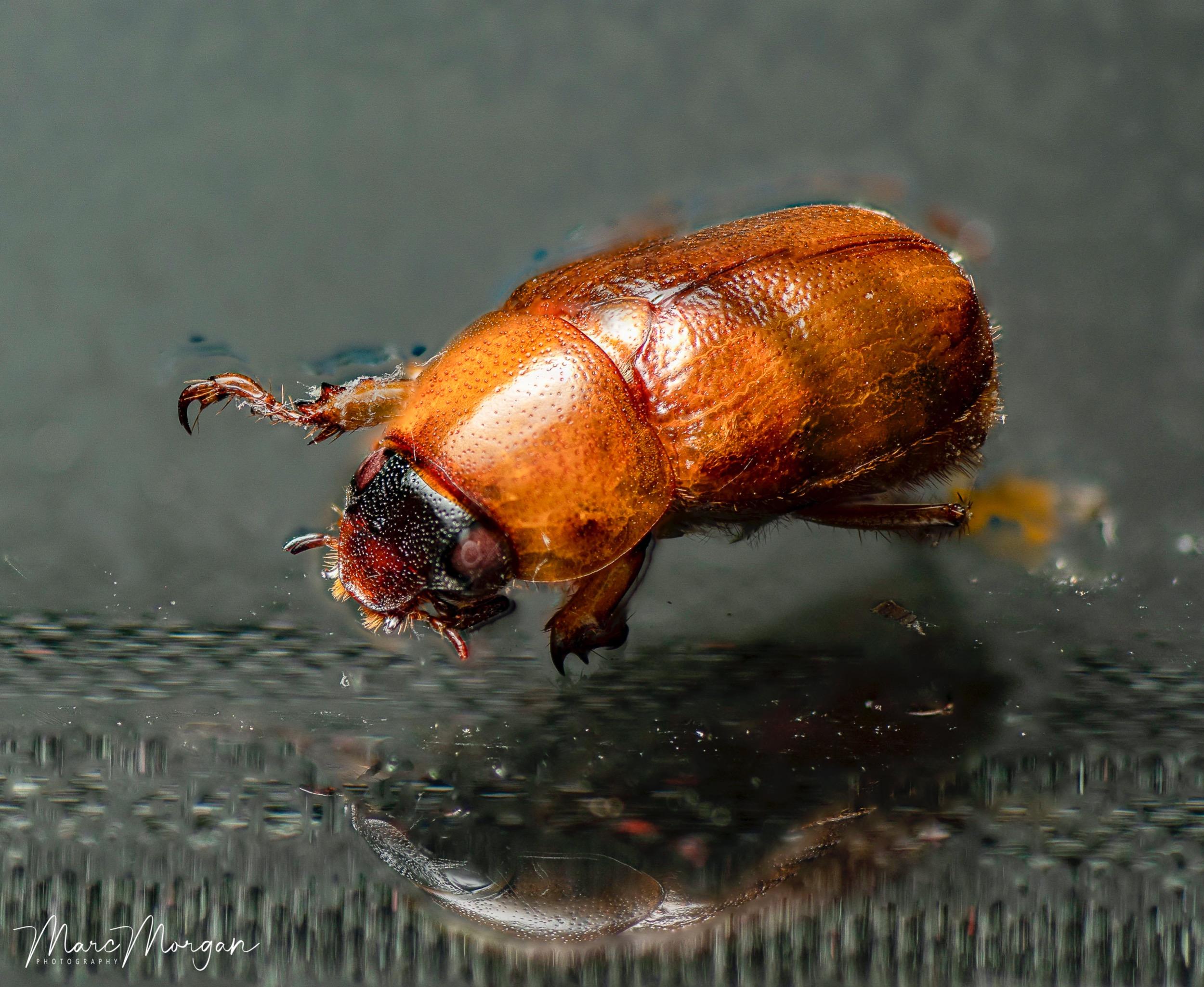 beetledorsalfinal-1.jpg