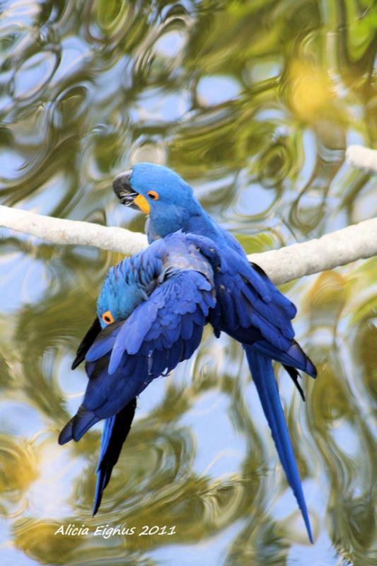 blueparrots1.jpg