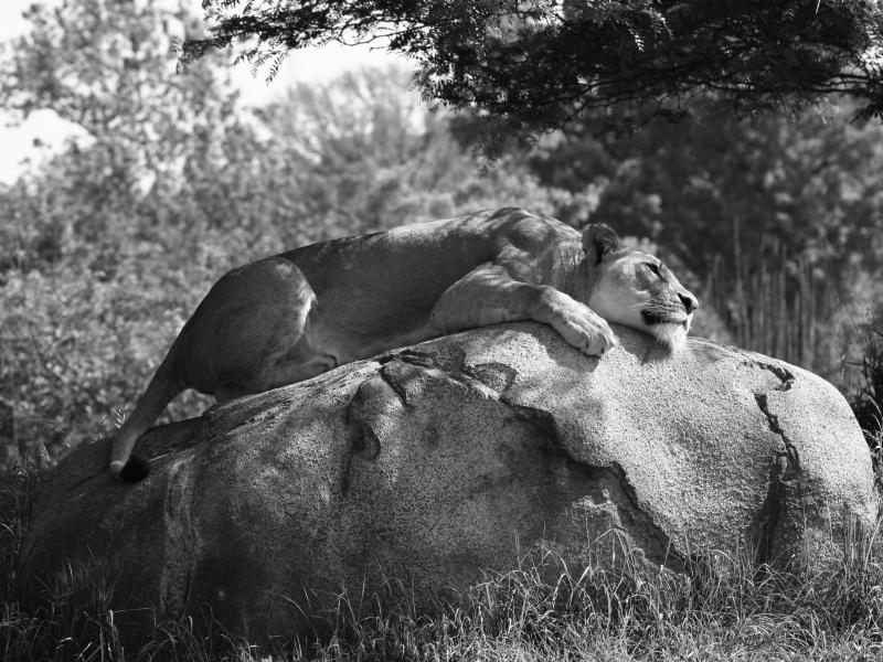 lionblackandwhite.jpg