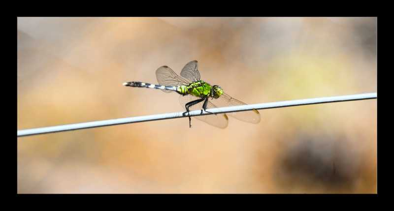 Dragonfly-on-electric-fence.jpg