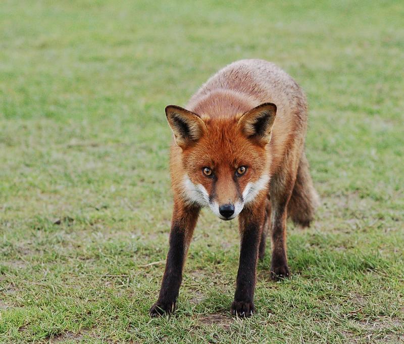 Foxy005.JPG
