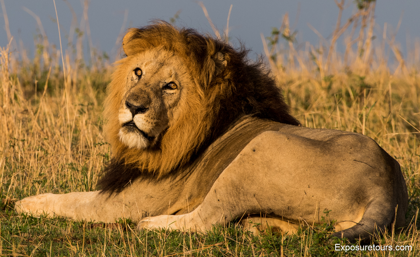 liongoldenlightet.JPG