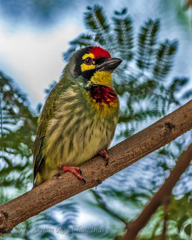 Bird_BarbetCoppersmith_Sodepur2012_DSC_9208_f_cr2_Smithsonian_FB.jpg