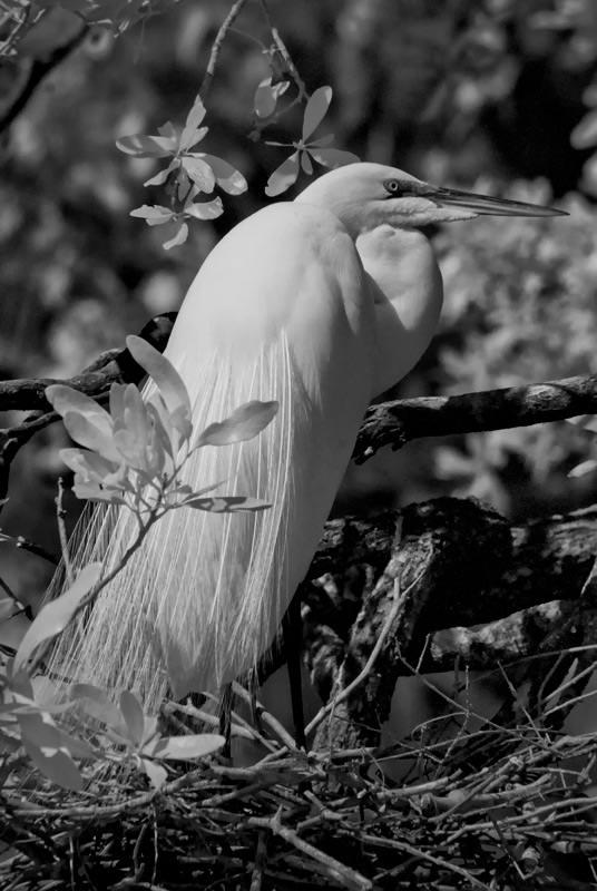 irbirdsAPortrait_Egret.jpg